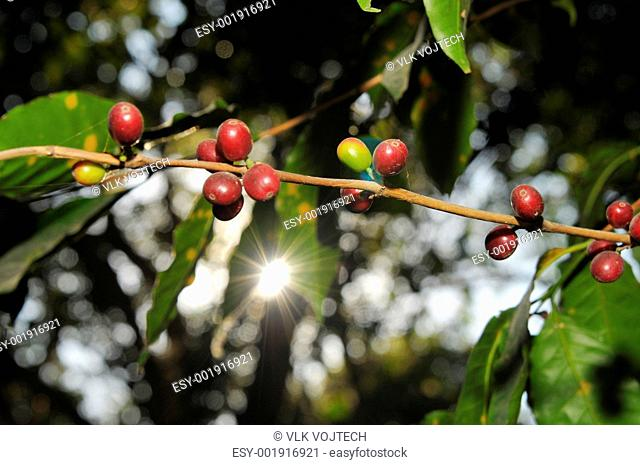 Picure of a coffe berries growing on plantation in Honduras