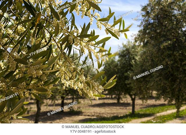 Olive trees in bloom. Hacienda Queiles, Valle de Queiles, Navarre, Spain. Blooming of olive trees begins in mid-may and lasts no more than a week