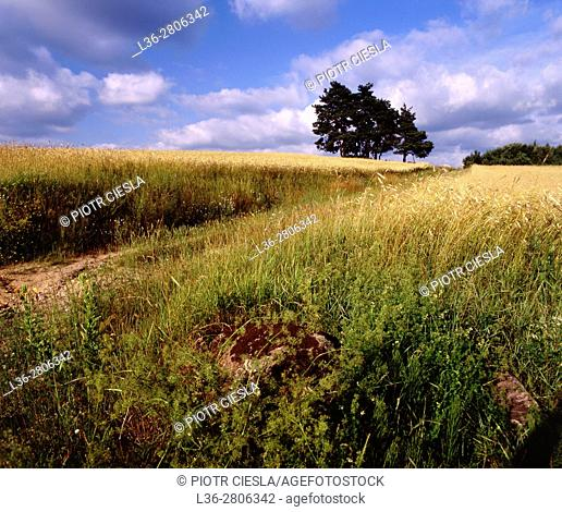 Poland. Country road among fields of rye