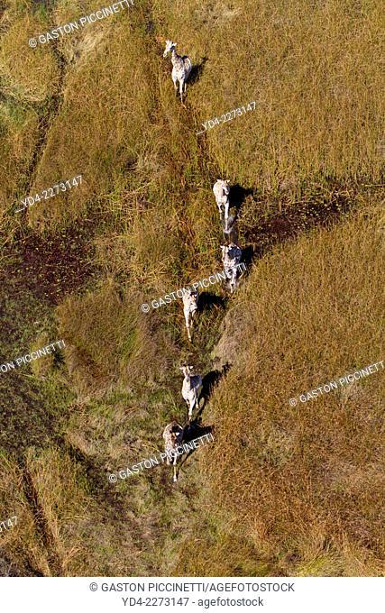 Aerial view of giraffes (Giraffe camelopardalis), Okawango Delta, Botswana. The Okavango Delta is home to a rich array of wildlife