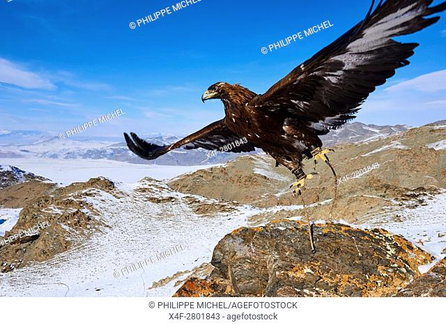 Mongolia, Bayan-Olgii province, Golden Eagle, in Altai mountains