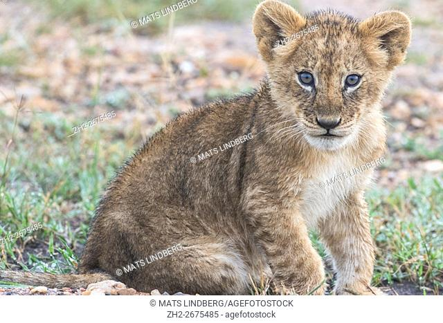 Lion cub sitting on the ground and looking in to the camera, Masai mara, Kenya, Africa