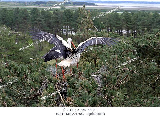 France, Somme, Baie de Somme, Marquenterre Park White Stork couple on nest atop a pine