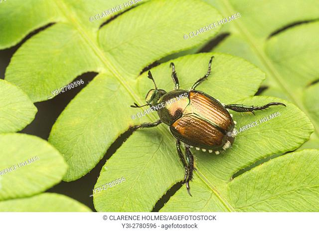 A Japanese Beetle (Popillia japonica) perches on a fern leaf