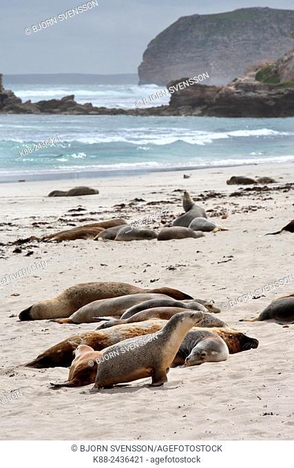 Australian Sea Lions (Neophoca cinerea). Seal Bay Conservation Park, Kangaroo Island, South Australia