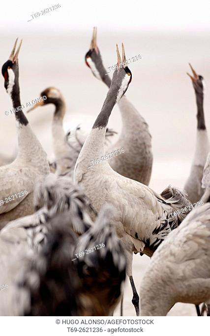 Group of cranes singing. Gallocanta. Spain