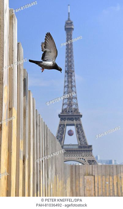 A pigeon flies near the fence of a construction site at the Palais du Trocadero in front of the Eiffel tower in Paris, June 8, 2016