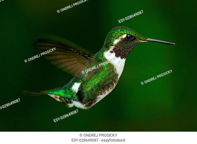 White-bellied Woodstar, Chaetocercus mulsant, hummingbird