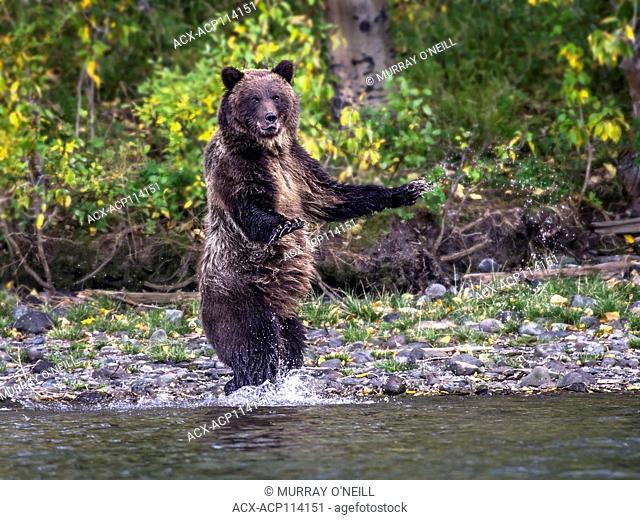 Grizzly Bear (Ursus arctos horribilis), Adult, startled and standing on edge of slamon stream, Fall, Autumn, Central British Columbia, Canada