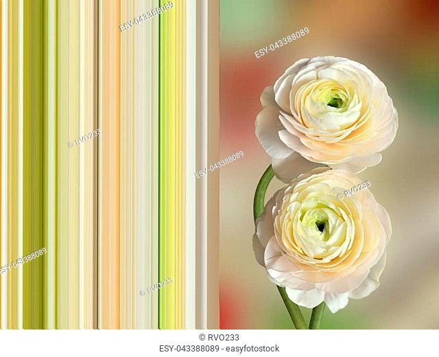 Two delicate pale-pink ranunculus flowers close up - spring postcard concept with complementing striped background