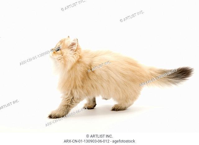 A walking kitten looking above