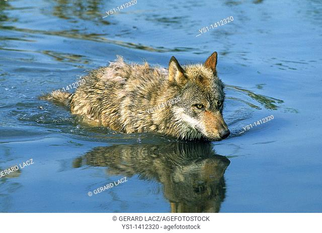 EUROPEAN WOLF canis lupus, ADULT WALKING IN WATER