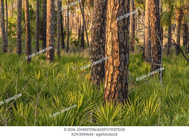 Pine woodland at sunset, St. Marks NWR, Florida, USA