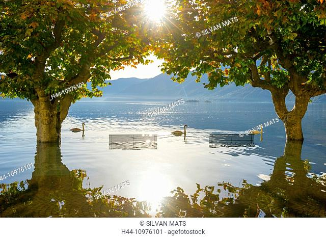 Three swans swimming on flooding, Maggiore between trees and benches in Ascona, Switzerland