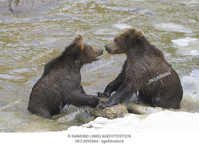 Brown bear, Ursus arctos, Two cubs fighting in pond, winter, Germany