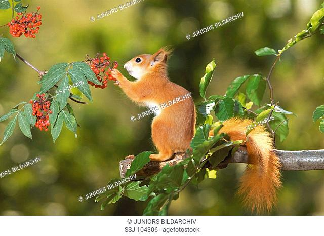 squirrel on tree at berries