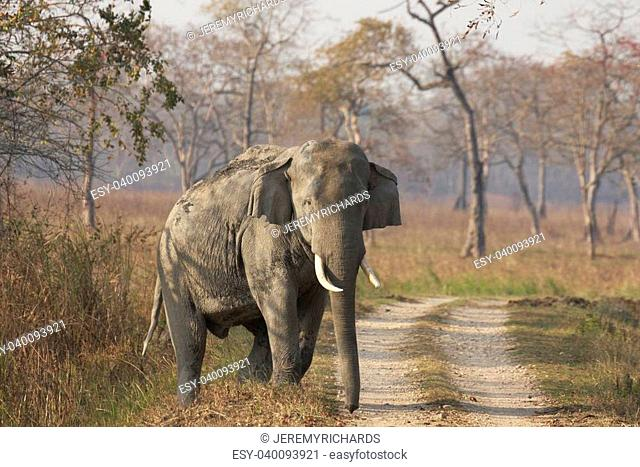 Huge wild male Asian Elephant walking along a track in Kaziranga National Park, India