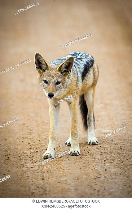Cape Cross , Namibia - Blacked backed jackal (canis lupus) standing in the middle of the road to Sossusvlei