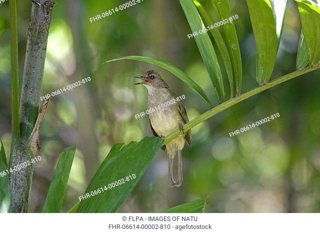 Olive-winged Bulbul Pycnonotus plumosus adult, calling, perched on palm tree frond, Palawan Island, Philippines, may