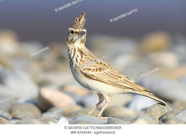 Crested Lark (Galerida cristata), adult, perched on pebbles, Qurayyat, Muscat Governorate, Oman