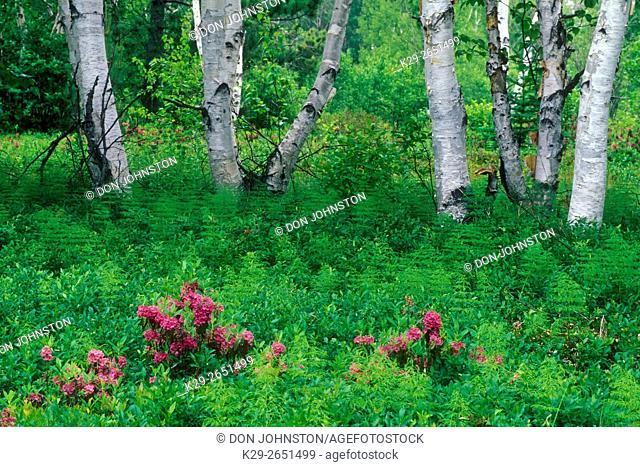 Sheep laurel and birch trees, Lively, Ontario, Canada