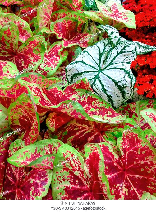 Standing out in a crowd - Caladium foliage