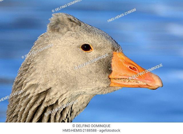 France, Doubs, Greylag Goose (Anser anser), portrait