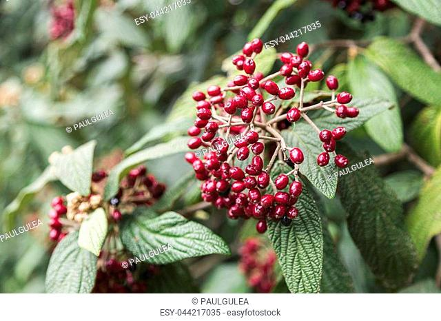 fresh wild green bushes with smal red berries and leaves in garden in summer day
