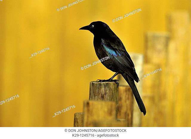 Grackle Quiscalus quiscula