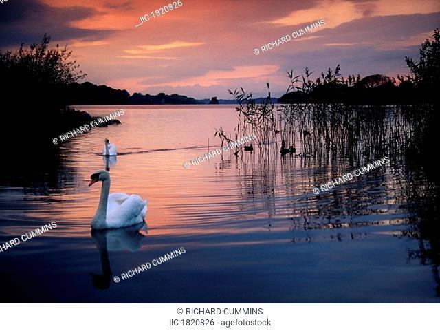 Lough Leane, Killarney National Park, County Kerry, Ireland, Swan at sunset