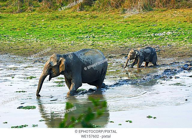 The Asian or Asiatic elephant, Elephas maximus, Kaziranga National Park, Assam, India
