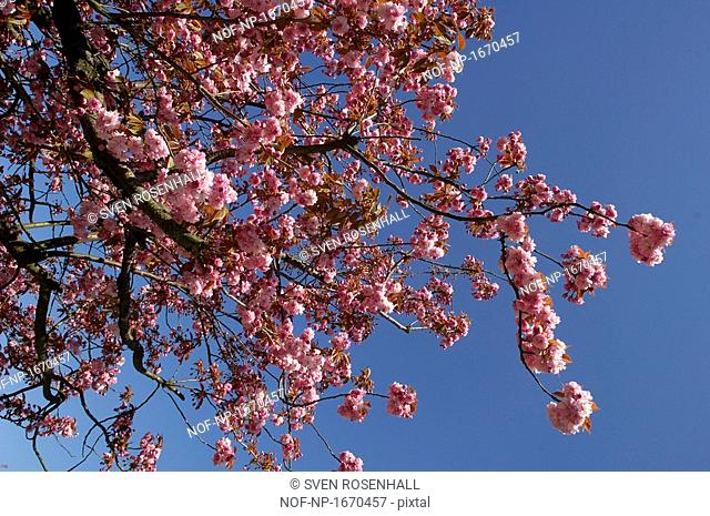 Low angle view of Cherry Blossom flowers on cherry tree, Skane, Sweden