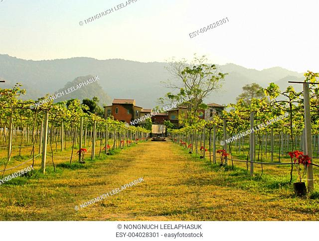 many vineyards with house in countryside, Thailand