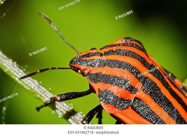 Macro Photo Of A Graphosoma Lineatum