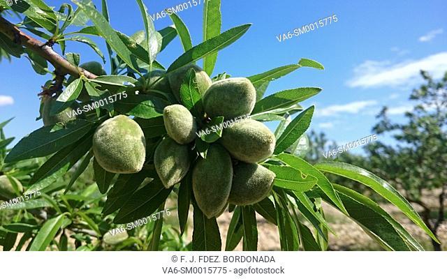 Organic almond trees. Aragon, Spain
