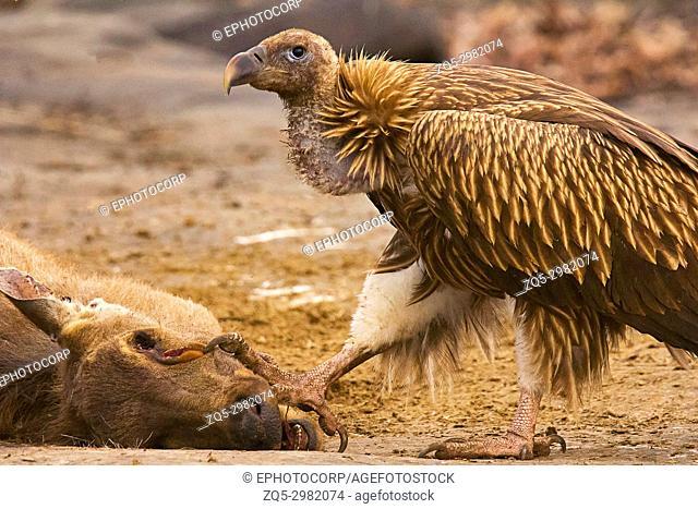 Himalayan Griffon Vulture, Gyps himalayensis, Panna Tiger Reserve, Rajasthan, India