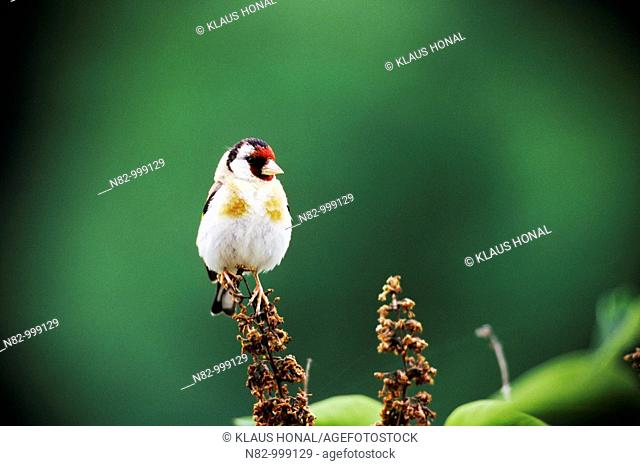 Goldfinch (Carduelis carduelis) on dried blossom - Bavaria/Germany
