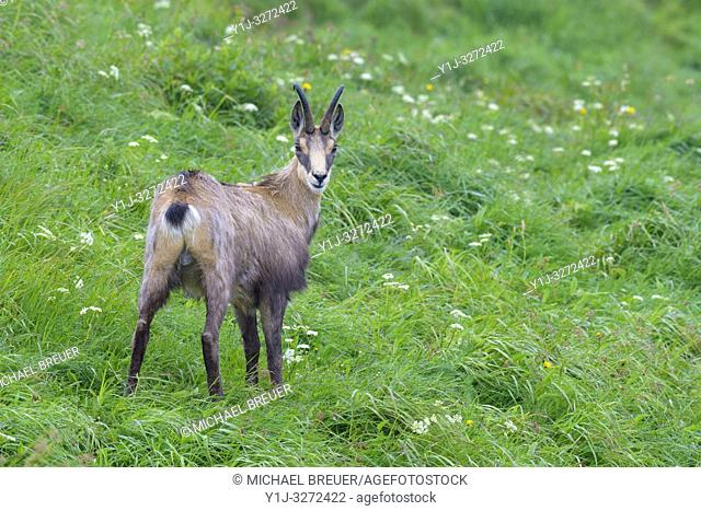Chamois (Rupicapra rupicapra) in summer, Hohneck, Vosges, Alsace, France, Europe