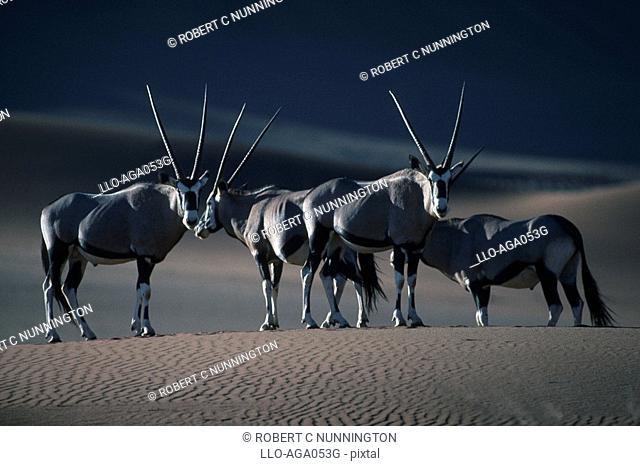 Gemsbok Oryx gazella Herd Standing on Dry Desert Plain  Namib Naukluft National Park, Namibia