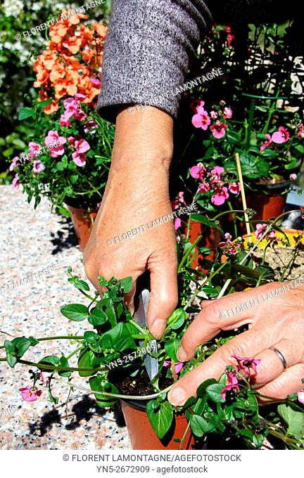 Step by step of cuttings of Diascia flower