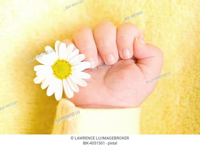 Baby hand holding a white daisy