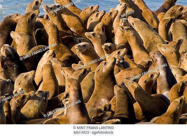 California sea lions, Zalophus californianus, Ano Nuevo Island, Monterey Bay, California