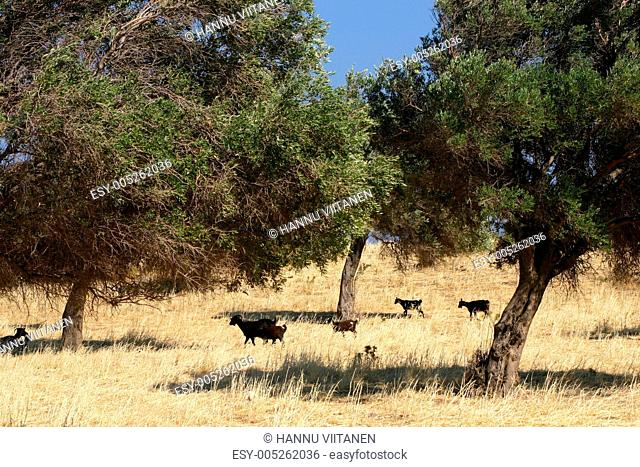 Black sheep in olive grove