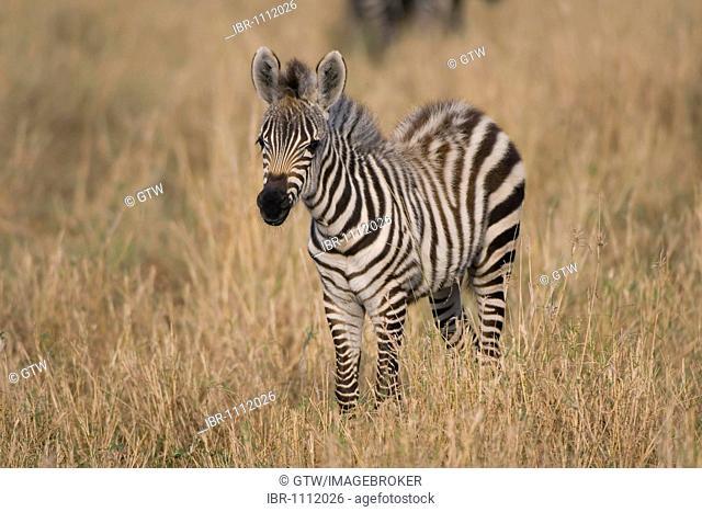 Young Burchell's Zebra or Plains Zebra (Equus burchellii), Masai Mara, Kenya, East Africa