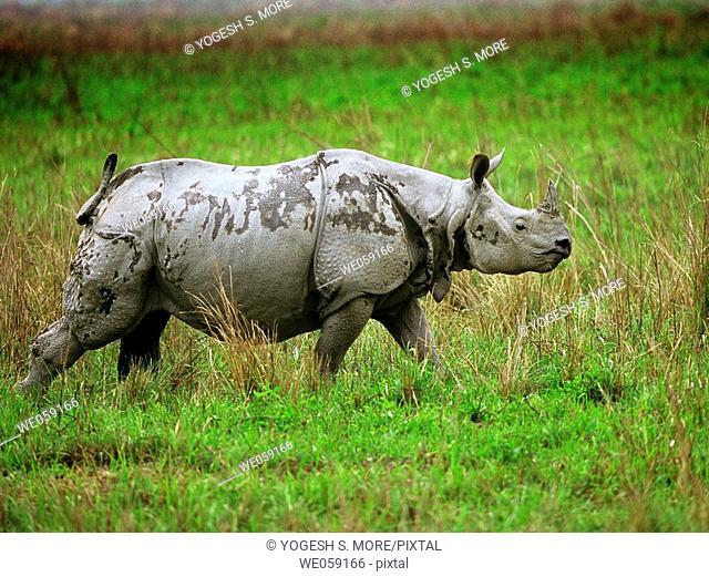 Indian Onehorned Rhinoceros, Rhinoceros unicornis, Linneaeus. Kaziranga National Park, Nepal