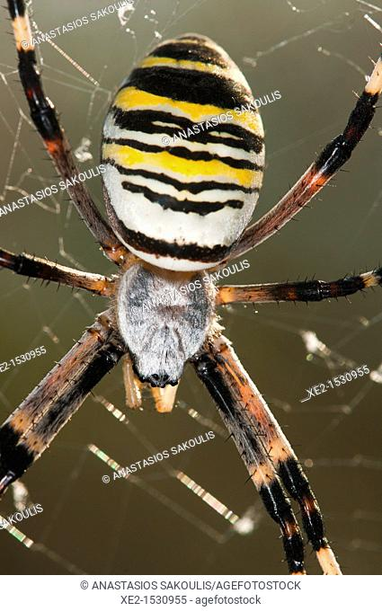 Argiope bruennichi, or the wasp spider, Crete