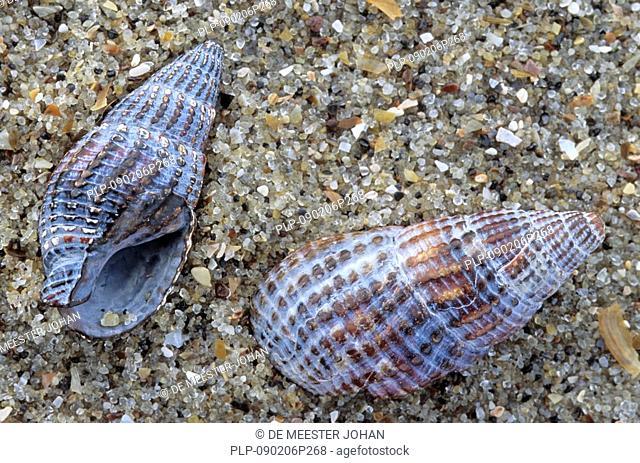 Netted dog whelk Nassarius reticulatus fossils on beach, Belgium
