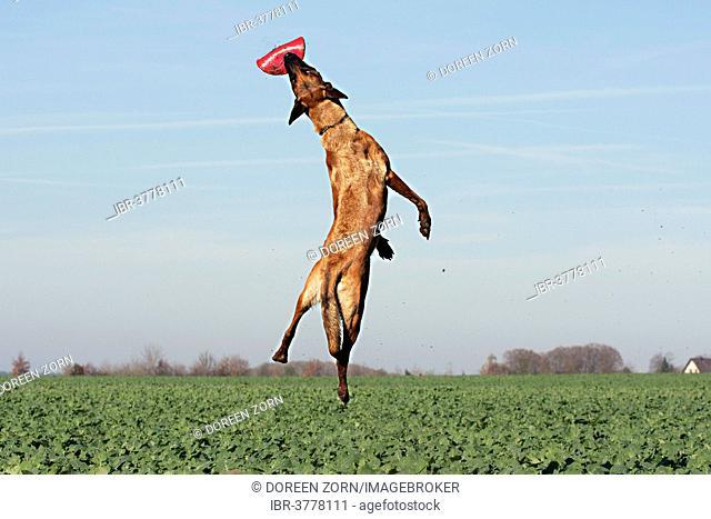 Malinois catching a frisbee