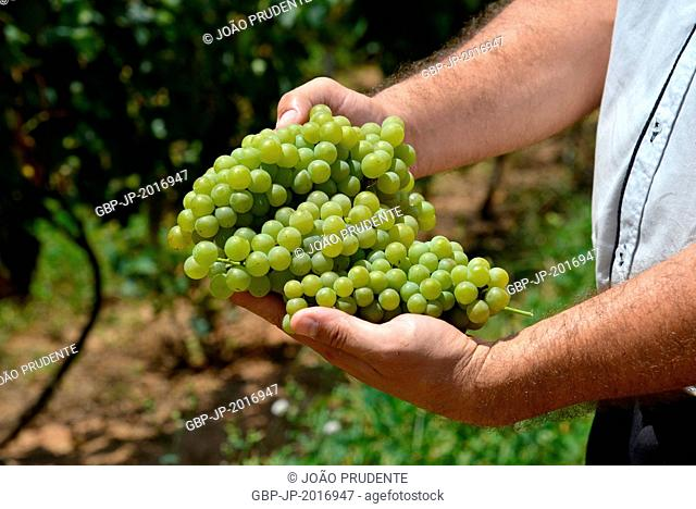Farmer holding bunches of grapes of the variety Moscato Lorraine, Andradas, Minas Gerais, Brazil 01.2015