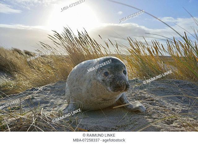 Grey Seal, Halichoerus grypus, Pup with Sun, Helgoland, Dune, North Sea, Island, Schleswig-Holstein, Germany